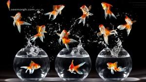 ماهی قرمز سفره هفت سین از کجا آمده ؟