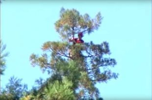 بلندترین درخت جهان + عکس