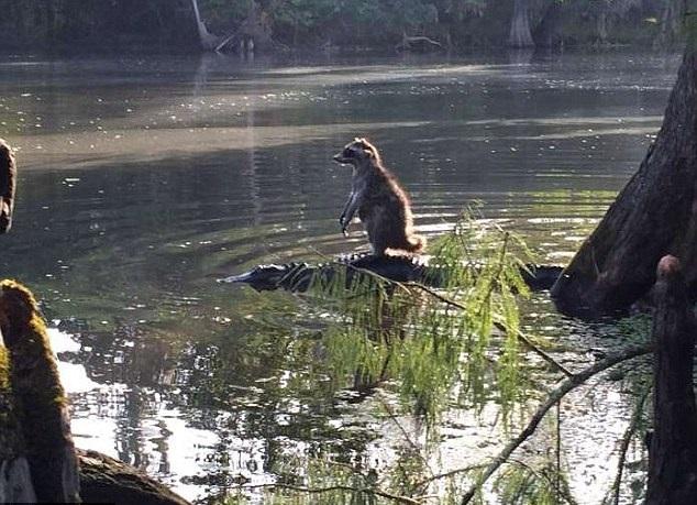 سواری گرفتن راکون از تمساح